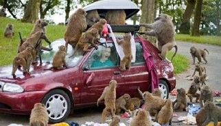 Apen openen dakkoffer van auto