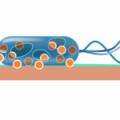 BacterieopkoperKlein